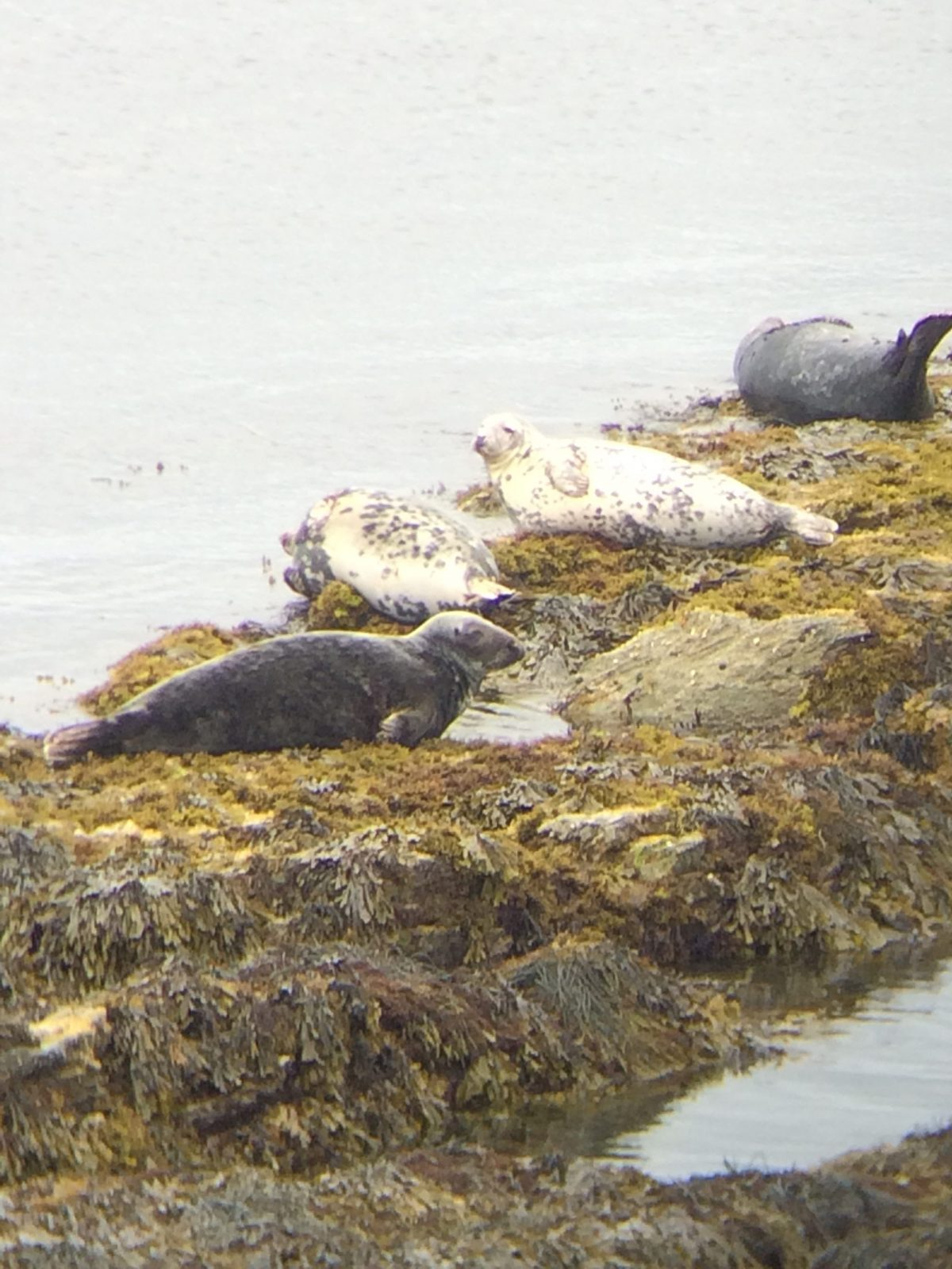 A Parcel of Pinnipeds